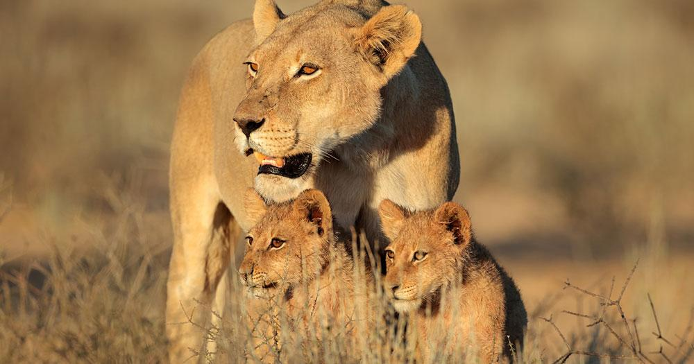 Cape Town - Lion family in the savannah
