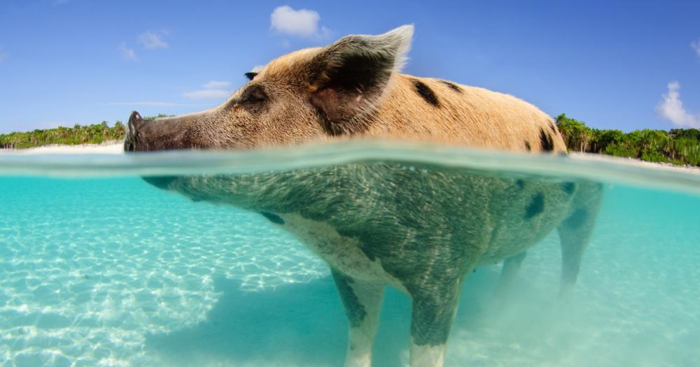 Bahamas - View of the pigs in the Bahamas