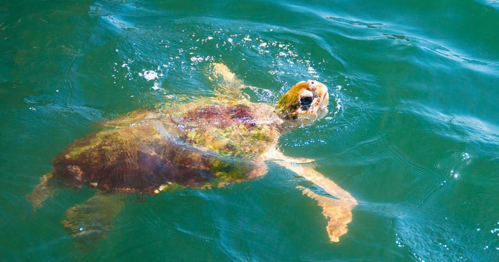 Dalyan - Giant turtles