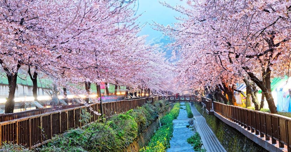 Busan - cherry blossom